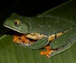 Tree Frog Slide #21